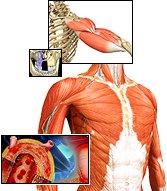 Sistema Muscular Algo Sobre